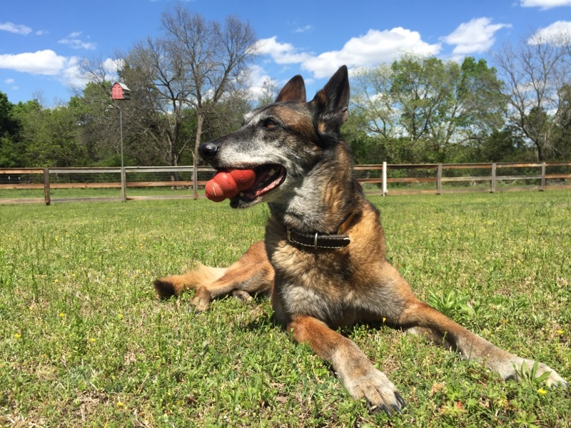 Retired University of North Texas K-9 officer Joy is proof that police never rea