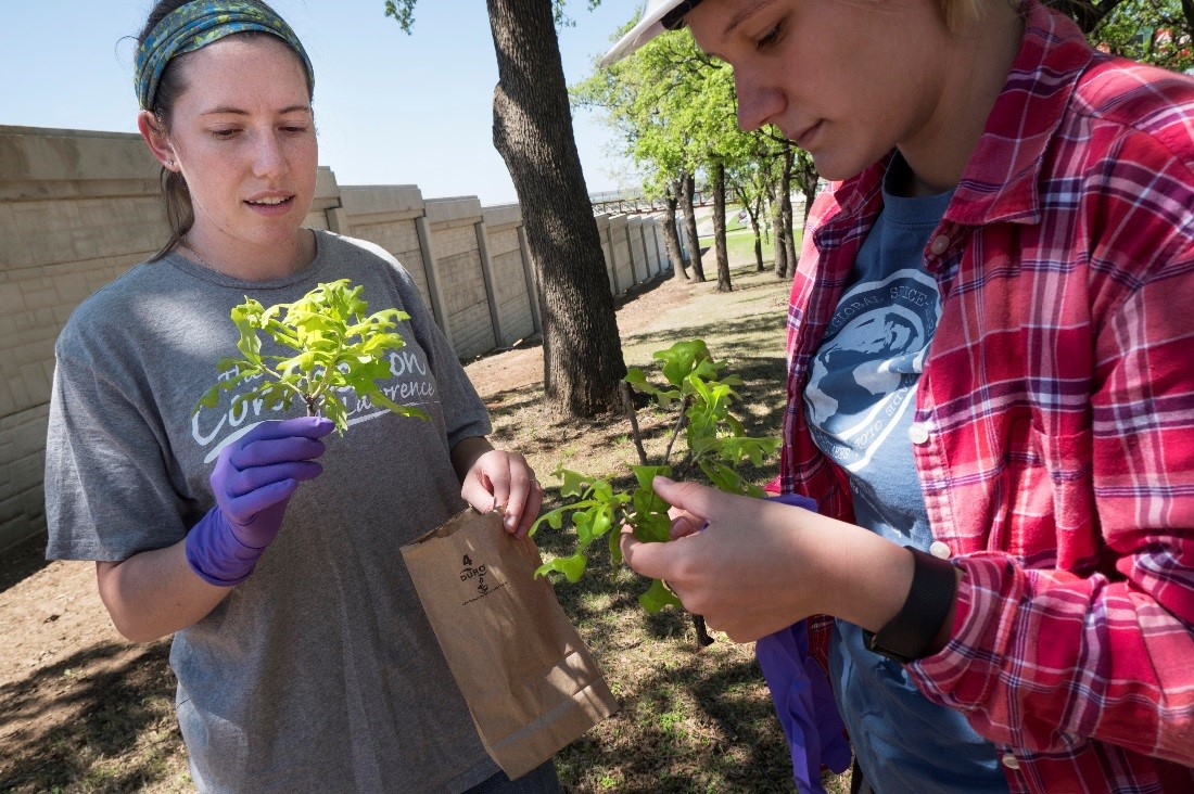 University of North Texas students Cassidy Winter (left) and Jenna Rindy gather post oak leaves that they will analyze for black carbon and other pollutants, to determine the tree's effectiveness as an