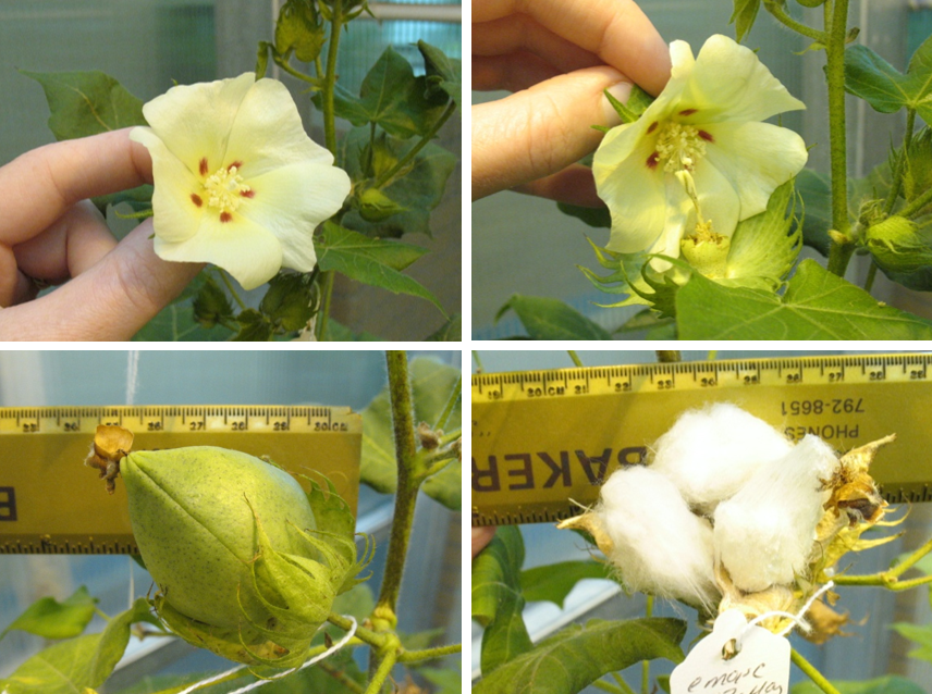 A cotton flower is being used to transport a desired gene to a new cotton plant.
