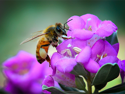 UNT named a Bee Campus for fifth straight year for its efforts to foster pollinator habitat and education